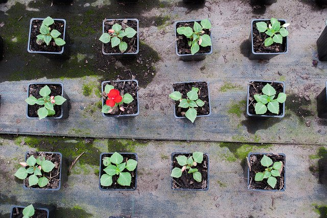 A grid of small flowerpots with one pot boasting a bright red flower
