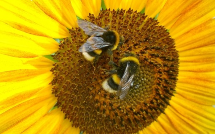 a sunflower with two bumblebees in its center